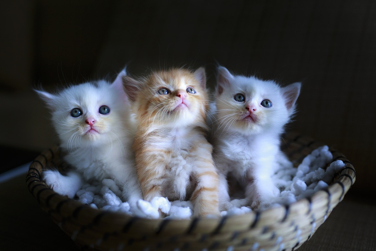 How Long Do Cats Live Cats Lifespan Cat Life Stages